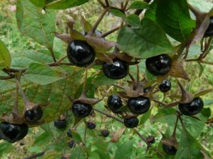 Nightshades Cause Inflammation - Deadly Nightshade